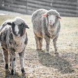 与非常突出的耳朵的两只Whooly绵羊  库存图片