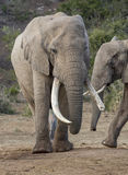 与非常长的象牙的非洲大象 图库摄影