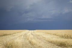 与非常顶上黑暗的隆隆响的暴风云的金黄麦田 免版税库存照片
