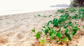 与非常晴朗的绿色新鲜的牵牛花在海滩 图库摄影