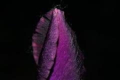 与非打开的芽的黑暗的紫色虹膜花 免版税库存照片