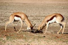 与非洲战斗的跳羚 库存图片