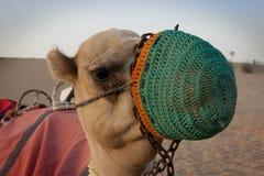 与面具的骆驼 图库摄影