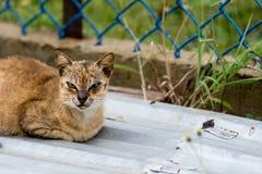 与面孔的一只坚韧看的街道猫从坐的战斗结疤  库存图片