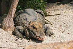 与面对观察者,特写镜头的开放嘴的鳄鱼 免版税图库摄影