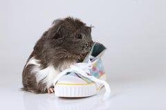 与鞋子的一间sheltie试验品 免版税图库摄影