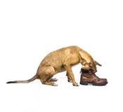 与鞋子的小狗戏剧 免版税库存图片