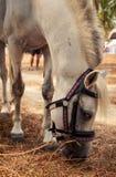 与鞔具的特写镜头白马在海滩附近吃干草 免版税图库摄影