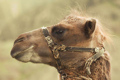 与鞔具的顶头骆驼 敌意 图库摄影