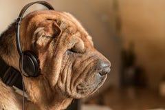 与音乐耳机的狗 免版税库存图片