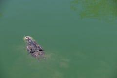 与顶头水面上的鳄鱼 免版税库存照片