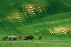 与领域和开花适当的苹果树的滚动的晴朗的小山 库存图片
