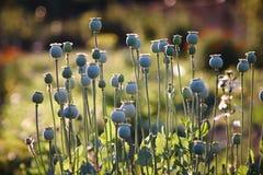 与领域的鸦片罂粟在焦点外面在背景中 库存照片