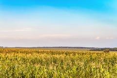 与领域绿色的乡下场面用生长玉米偷偷靠近 免版税库存图片