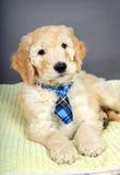与领带的逗人喜爱的小狗 免版税库存图片