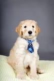 与领带的逗人喜爱的goldendoodle小狗 免版税库存图片