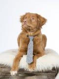与领带的鸣钟人小狗 免版税库存图片