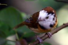 与颊须的鸟 图库摄影