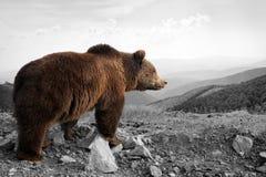 与颜色熊的黑白摄影 免版税库存照片
