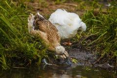 与颜色的装缨球鸭子喝从河呈杂色的pluma的水 库存图片