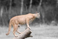 与颜色美洲狮的黑白摄影 库存照片