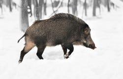 与颜色野公猪的黑白摄影 图库摄影