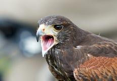 与额嘴的条纹的长腿兀鹰大开与可看见的舌头 库存照片