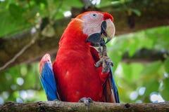与额嘴的猩红色金刚鹦鹉清洁钉子 免版税库存照片