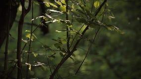 与颤抖在天空中的新鲜的叶子的梦想的森林地场面和不可思议的金黄bokeh在背景中点燃跳舞 股票录像
