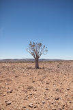 与颤抖树的普通沙漠场面在午间 免版税库存照片