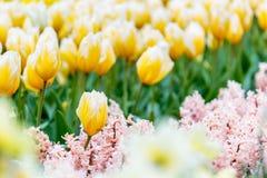 与风信花前景的黄色和白色镶边郁金香花床在公园 免版税库存图片