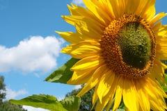 与风景和夏天天空的晴朗的向日葵 图库摄影