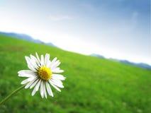 与风景(37)的雏菊 免版税库存照片