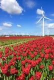 与风车泽沃德的红色郁金香领域 免版税库存照片