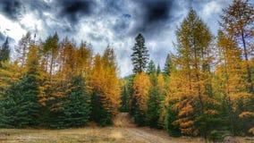 与风雨如磐的天空的秋天Tamaracks 免版税图库摄影