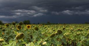 与风暴的向日葵 库存照片