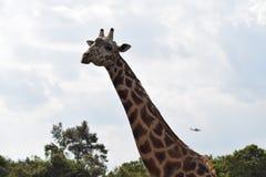 与飞机的长颈鹿 免版税库存图片
