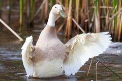 与飞溅在水中的绿色票据的白色鸭子 库存照片