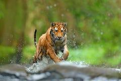 与飞溅河水的老虎 行动与野生猫,自然栖所的野生生物场面 跑在水中的老虎 危险动物, taj 免版税库存照片
