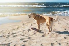 与飞碟的一条狗咆哮在沙丘的在的海滩 库存图片