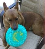 与飞碟的狗 免版税图库摄影