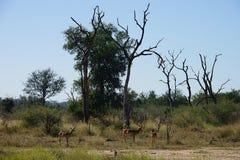 与飞羚斯威士兰国家公园的树 图库摄影