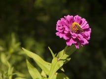 与飞蛾的桃红色花 库存照片
