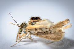 与飞蛾的跳跃的蜘蛛 免版税图库摄影