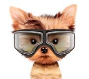 与飞行员的可爱的小狗在白色使用Google,隔绝 库存图片
