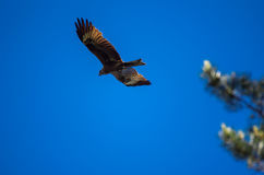 与飞行在蓝天的被涂的翼的黑鸢 免版税图库摄影
