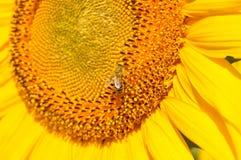 与飞行授粉的蜂昆虫的黄色向日葵雄芯花蕊特写镜头 向日葵绽放授粉宏指令  雄芯花蕊特写镜头  免版税库存图片