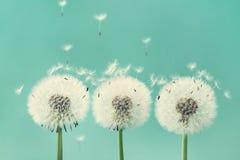 与飞行的三朵美丽的蒲公英花在绿松石背景用羽毛装饰 免版税库存照片