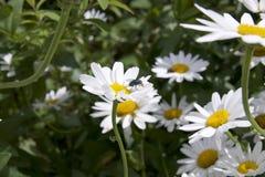 与飞行的白色Michaelmas雏菊在花 库存图片