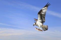 与飞行的白鹭的羽毛与它是虹鳟的抓住 免版税库存图片